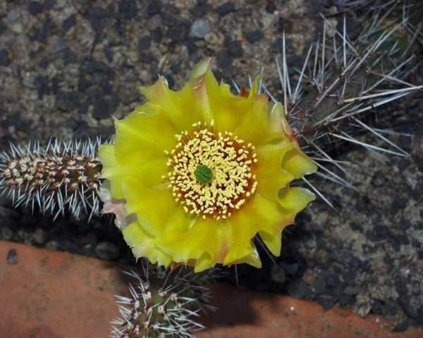 """Opuntia x polyacantha """"Franz Schenk"""" /2222"""