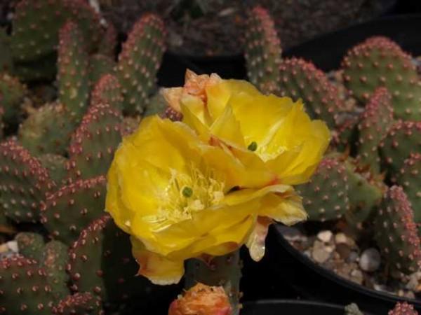 "Opuntia basilaris var. aurea ""St.George Utah"""