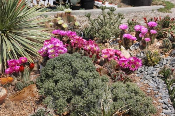 """Echinocereus reichenbachii """"Mix"""""""