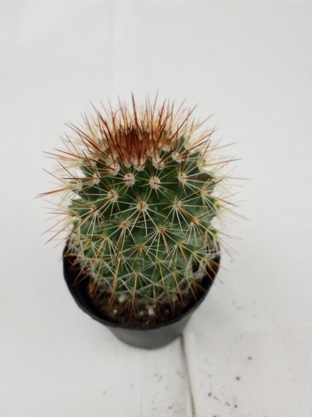 Mammilaria spinnossima