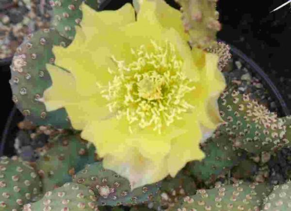 """Opuntia aurea """"Kanab Utah"""""""