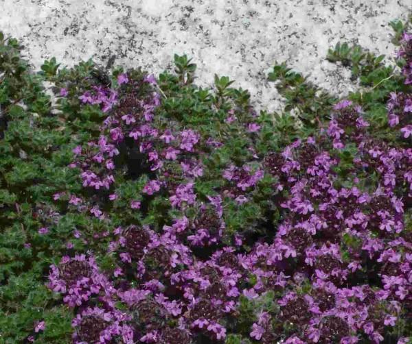 Thymus praecox var. pseudlanuginsus / Wollthymian