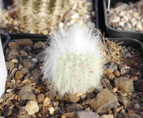 """Echinocereus canus """"Solitario Brewster Co Tx"""""""