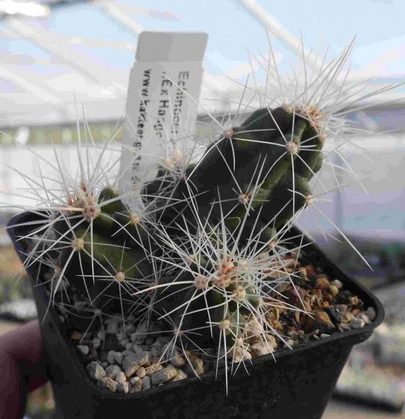 """Echinocereus spinibarbis """"Ex Haage"""""""