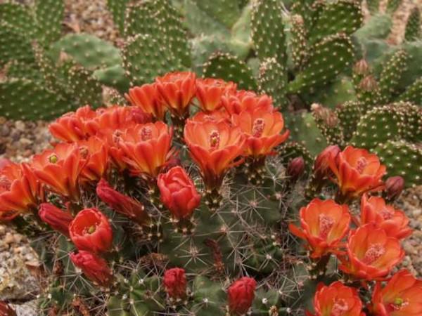 Echinocereus coccineus var.paucispinus /6103