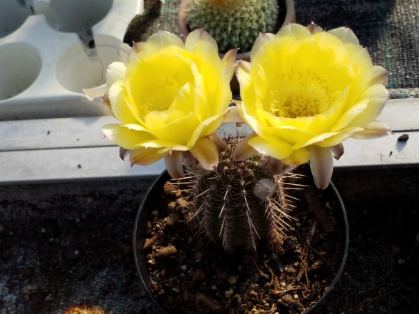 "Echinopsis-chamacereus Hybride ""Italien"""