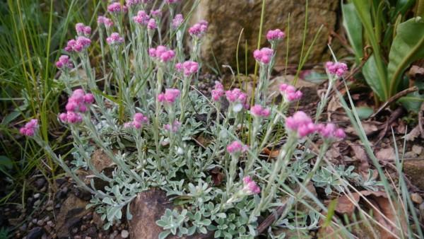 "Antennaria dioica 'Rotes wunder"" /Katzenpfötchen"