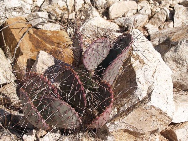 "Opuntia macrocentra ""Soccorro Co NM"