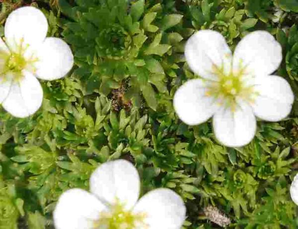 """Saxifraga x arendsii """"weisse Blüten"""