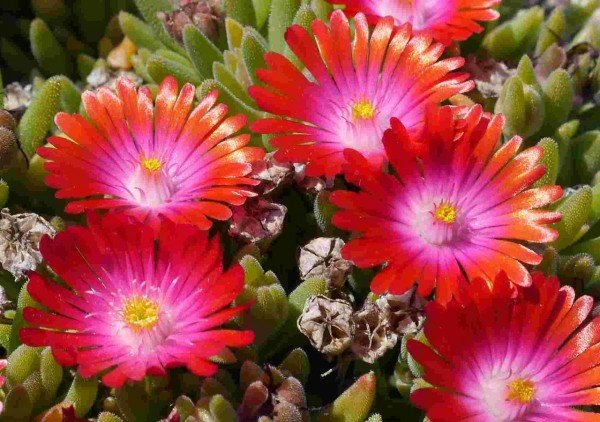 "Delosperma ""Jewel of Desert Garnet """