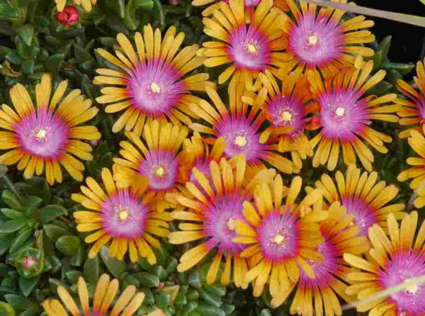 "Delosperma ""New Fire"" lila Zentrum orange Blüte"