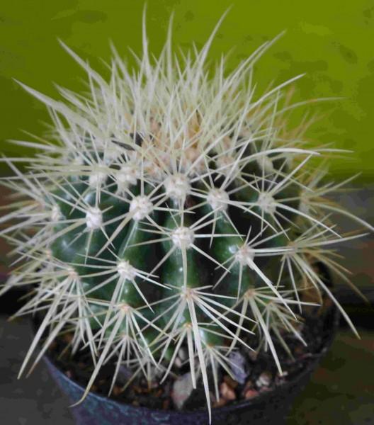Echinocactus grusonii /Schwiegermutterstuhl oder Goldkugelkaktus