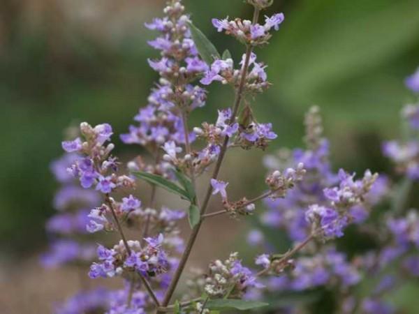 Vitex agnus-castus latifolia / Mönchspfeffer