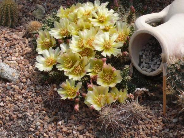 "Opuntia fragilis ""SB1413 Deuel Co Nebraska"""