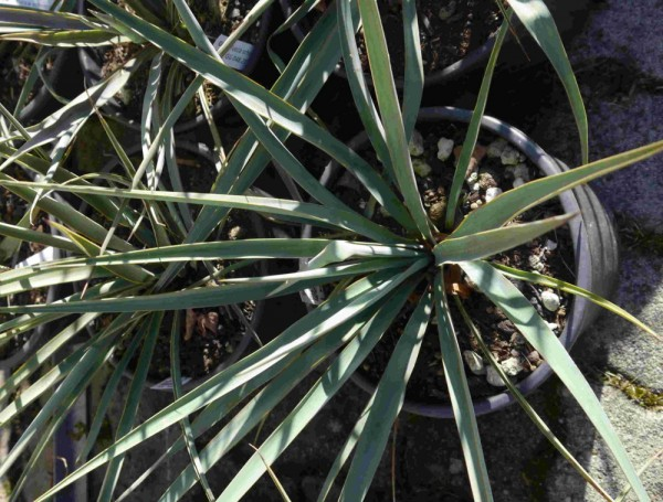 Yucca schotti x (Y. thompsoniana x filamentosa) GG 202
