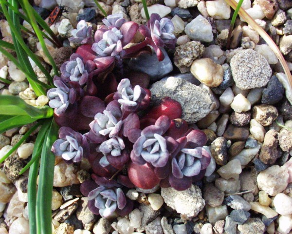 """Sedum spathulifolium """"Purpureum"""""""