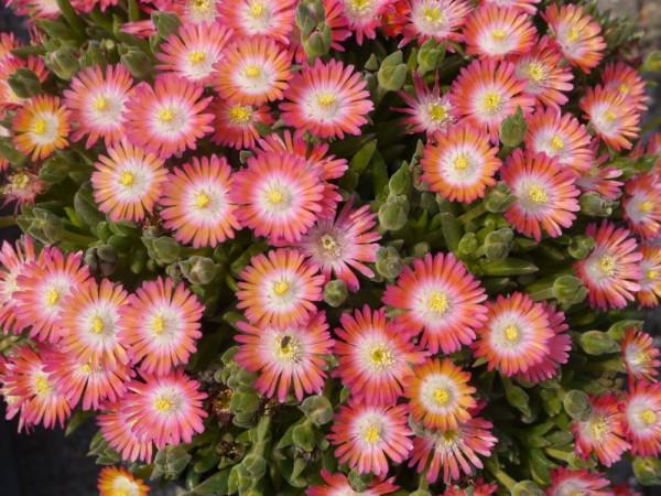 Delosperma 'Rosalie' rosa Blüten