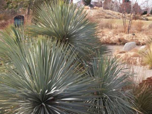"Yucca rostrata ""Sapphir Sky"""