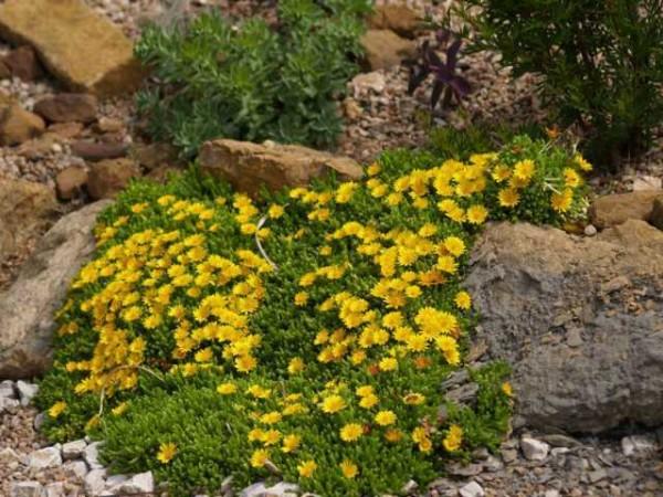 "Delosperma nubigenum ""Lesotho"""