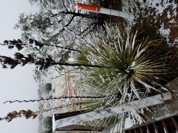 """Yucca elata """"Corona Co NM ca.2000m """""""