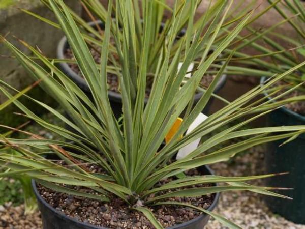 """Yucca reverchonii """"Ozona Tx"""""""