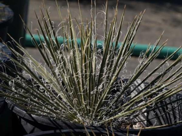 "Yucca angustissima subsp. toftiae ""San Juan Co Utah Glen Canyon 1402m"""