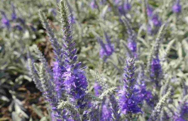 Veronica spicata ssp. incana