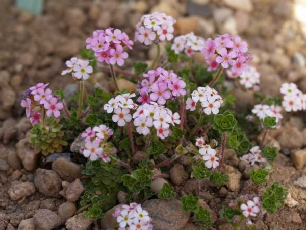 Androsace sempervivoides