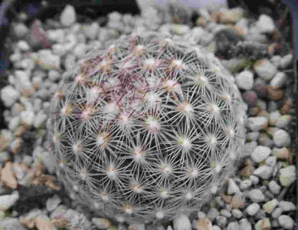 "Coryphantha echinus ""Eskota TX"""