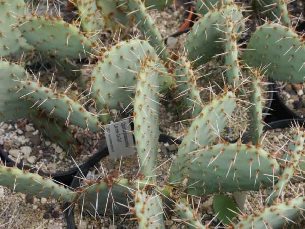 """Opuntia phaeacantha """"Larimer Co Col"""""""