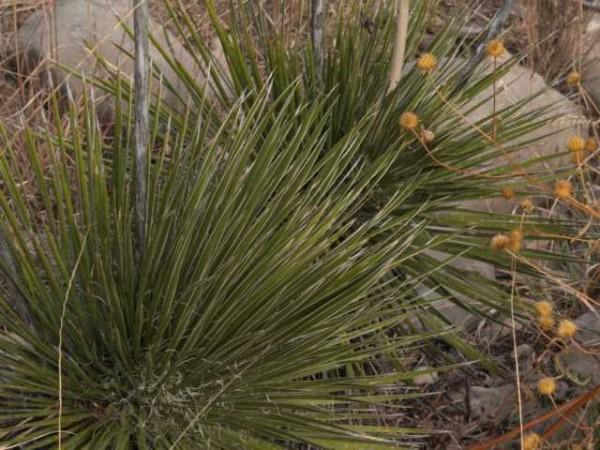 "Yucca aff. baileyi""Otero Co NM 1900m nähe Elk"""