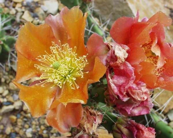 """Opuntia phaeacantha """"Orangade"""" /4007"""