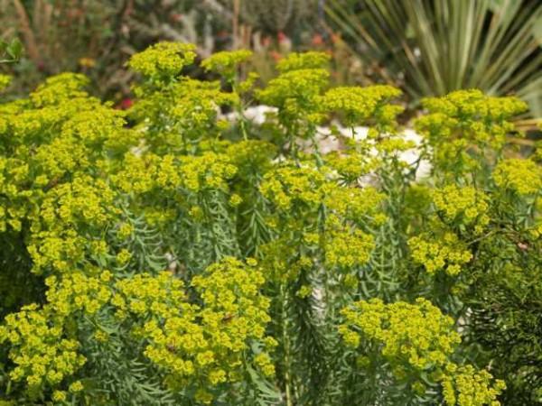 Euphorbia sequieriana ssp. niciciana
