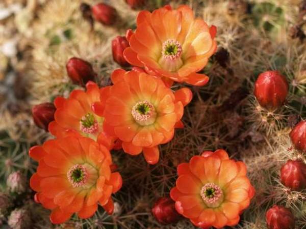 Echinocereus coccineus Hybriden