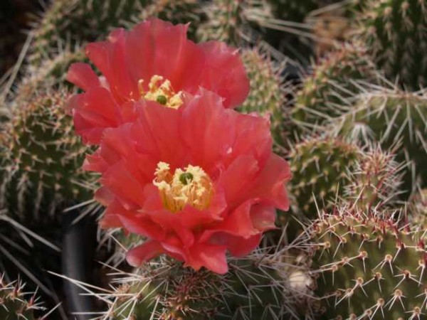 "Opuntia x polyacantha ""Wibke"" /5416"