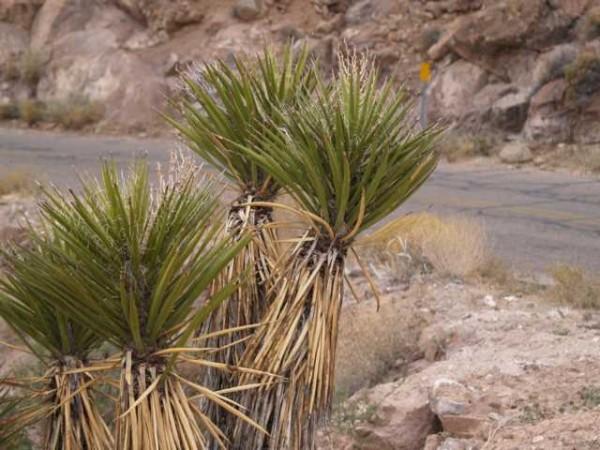 "Yucca schidigera ""Mead View AZ"""