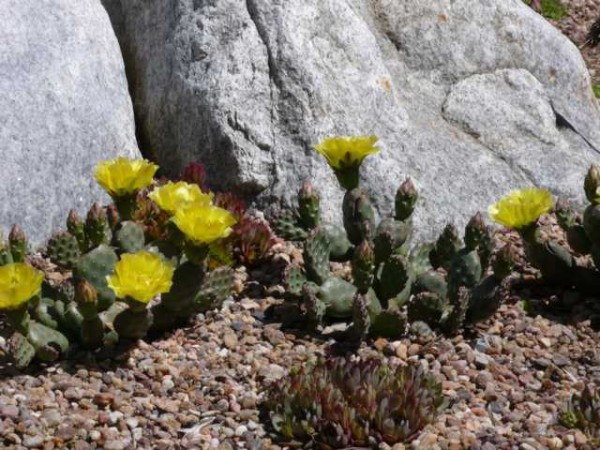 """Opuntia polyacantha f inermis """" essbar"""" /3808"""