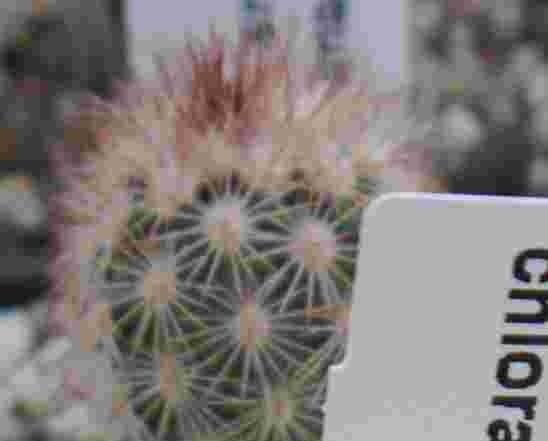 Echinocereus dasyacanthus x chloranthus