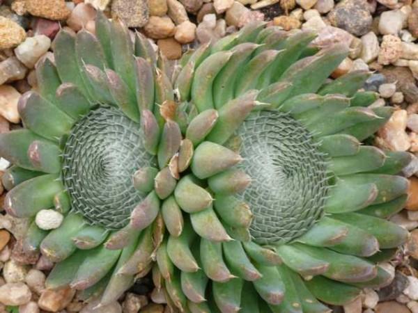 Orostachys spinosus /Sternwurz