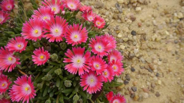 Delosperma 'Karen 6-555 lila'
