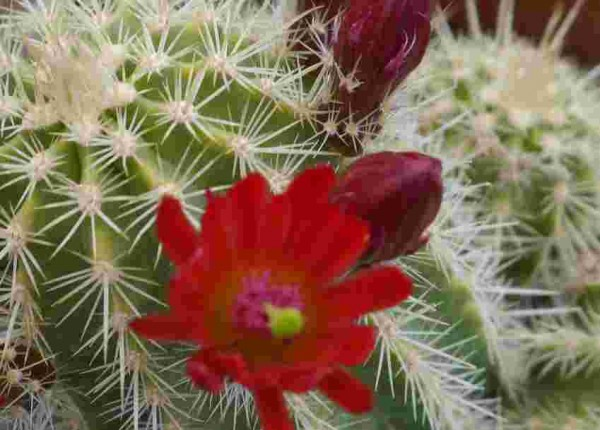 "Echinocereus x viridiflorus ""rote Blüten"""