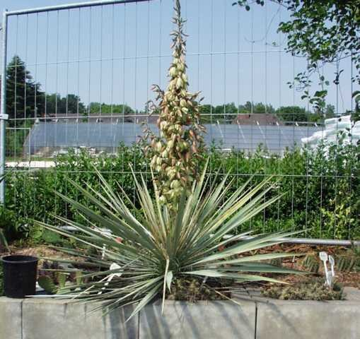 "Yucca neomexicana ""JRT251 Cimmeron Co"""