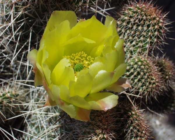 """Opuntia polyacantha """"Reedpoint Montana"""" /5409"""