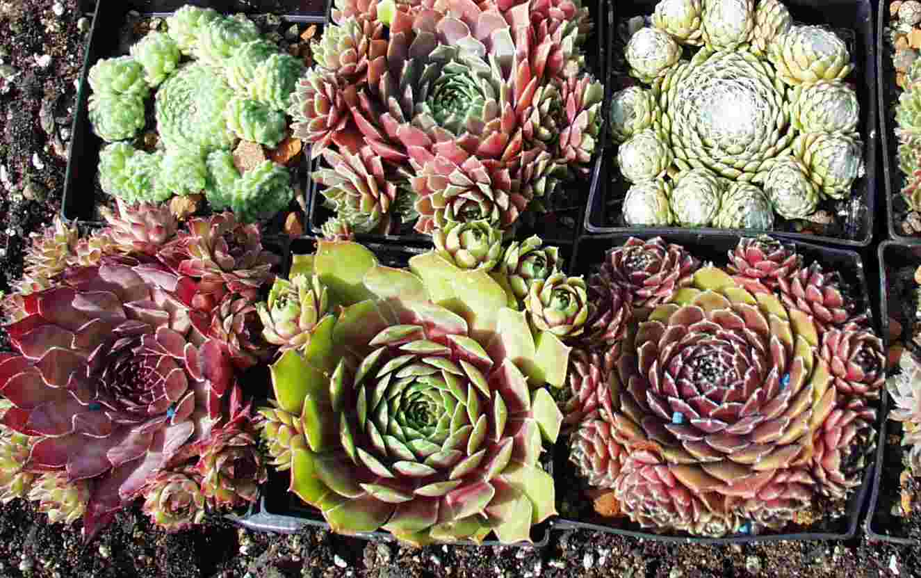 Sempervivum Sortiment 6versch Sorten Sempervivum