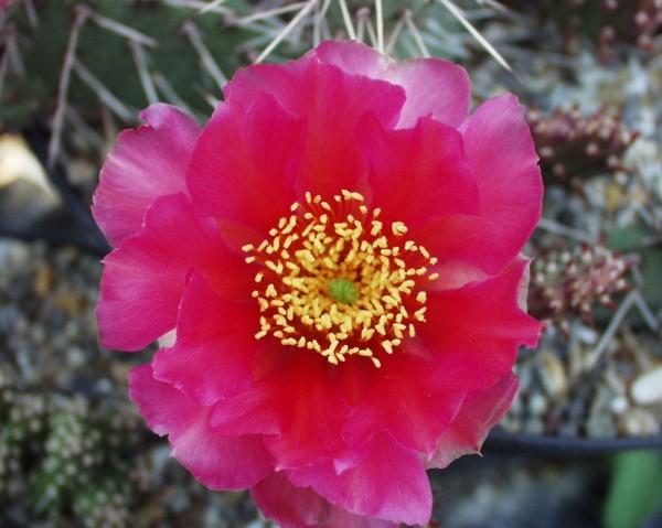 """Opuntia polyacantha var. rodantha """"spinosior Richter"""" /3807"""